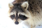 Doris Potter - Winter Raccoon