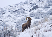 Bighorn Framed Prints - Winter Ram Framed Print by Mike  Dawson