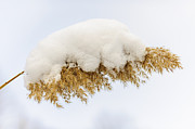 Snow Covered Posters - Winter reed under snow Poster by Elena Elisseeva