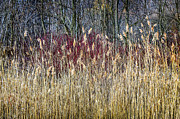 Leafless Posters - Winter reeds and forest Poster by Elena Elisseeva