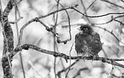 Christopher L Nelson - Winter Robin BW