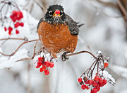 Christopher L Nelson - Winter Robin
