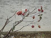 Ann Johndro-Collins - Winter Rose