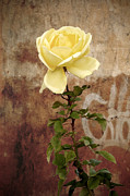 Flower Picture Posters - Winter rose Poster by RicardMN Photography