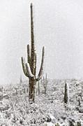 Saija  Lehtonen - Winter Sonoran Style