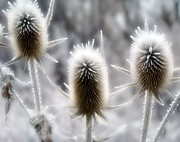 Snowy Digital Art - Winter Spikes by Gothicolors And Crows