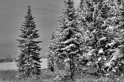 Brenda Giasson - Winter Spruce