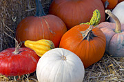 Orange Pumpkins Prints - Winter Squash 2b Print by Sharon  Talson