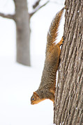 Courtney Kleekamp - Winter Squirrel