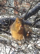 Guy Ricketts Photography Prints - Winter Squirrel Eats a Berry Frosted Print by Guy Ricketts