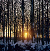 Woods Photos - Winter Sunset Through the Trees by Robert Hallmann