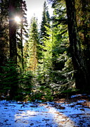 Pine Trees Metal Prints - Winter Sunshine on Chinook Pass Metal Print by Carol Groenen