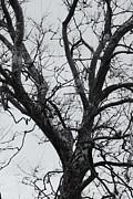 Daniel J Kasztelan - Winter Sycamore