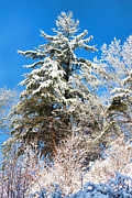 Snowed Trees Metal Prints - Winter Time Metal Print by Lena Auxier
