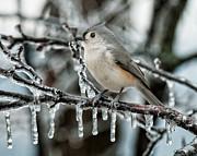 Winter Titmouse Print by Lara Ellis