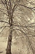 Frozen Branches Framed Prints - Winter Tree Framed Print by Bonnie Bruno