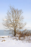 Park Scene Art - Winter tree on shore by Elena Elisseeva