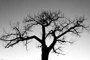 Winter Prints Framed Prints - Winter Tree Silhouette BW Framed Print by James Bo Insogna