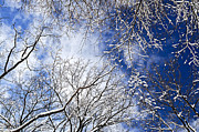 Treetops Prints - Winter trees and blue sky Print by Elena Elisseeva