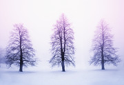 Winter Landscape. Snow Prints - Winter trees in fog at sunrise Print by Elena Elisseeva