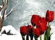 Winter Tulips Print by Morag Bates