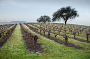 Grapevines Photos - Winter Vineyard by Kent Sorensen