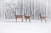 Deer In Snow Prints - Winter Visit Print by Karol  Livote
