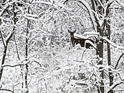 Whitetail Deer Photo Framed Prints - Winter Whitetail 2 Framed Print by Thomas Young