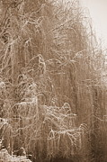 Weeping Willow Posters - Winter Willow in Sepia Poster by Carol Groenen