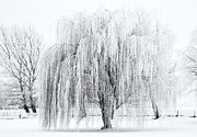 Frost Metal Prints - Winter Willow Metal Print by Mike  Dawson