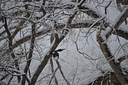 Black-billed Framed Prints - Winter Wings - black billed Magpie Framed Print by Roy Erickson