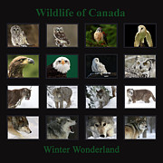Shelley Myke Framed Prints - Winter Wonderland Wildlife of Canada Framed Print by Inspired Nature Photography By Shelley Myke