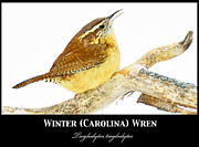 A Gurmankin - Winter Wren on Tree...