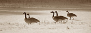 Photos Of Birds Prints - Wintering Geese Print by Skip Willits