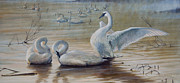Waterfowl Paintings - Wintering Trumpeters by Rob Dreyer AFC