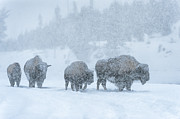 Bison Photo Metal Prints - Winters Burden Metal Print by Sandra Bronstein