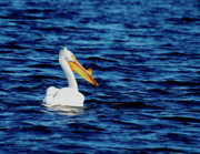 Matting Photo Posters - Wisconsin Pelican Poster by Thomas Young