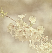 Sakura Photo Prints - Wisdom Print by Kim Hojnacki