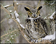 Winter Scenes Rural Scenes Framed Prints - Wise Old Great Horned Owl Framed Print by LeeAnn McLaneGoetz McLaneGoetzStudioLLCcom