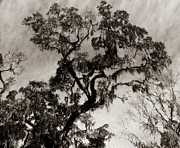 Raymond Earley - Wise Old Tree 2