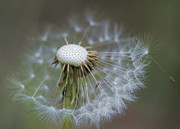 Kathy Clark - Wispy Dandelion Fluff
