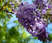 Good Luck Metal Prints - Wisteria Metal Print by Andrea Anderegg