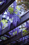 Wisteria Posters - Wisteria Beams Poster by Mike Reid