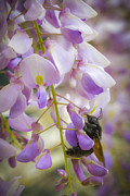 Wisteria In Bloom Framed Prints - Wisteria Bee Framed Print by Janice Sullivan