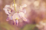 HJBH Photography - wisteria blooming