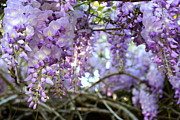 Cathy Dee Janes - Wisteria Dream
