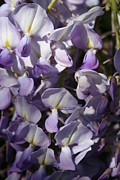 Tracey Harrington-Simpson - Wisteria Close Up