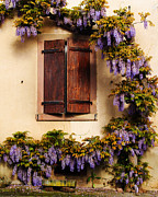Riquewihr Framed Prints - Wisteria Encircling Shutters in Riquewihr France Framed Print by Greg Matchick