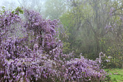 Southern Comfort Prints - Wisteria in the Mist Print by Leslie Kirk