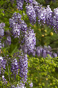 Kathy Clark - Wisteria Natures...